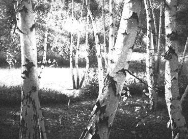 autumn_birch